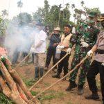 Polres Lhokseumawe Bersama Tim Gabungan Musnahkan 15 Ribu Batang Tanaman Ganja di Sawang