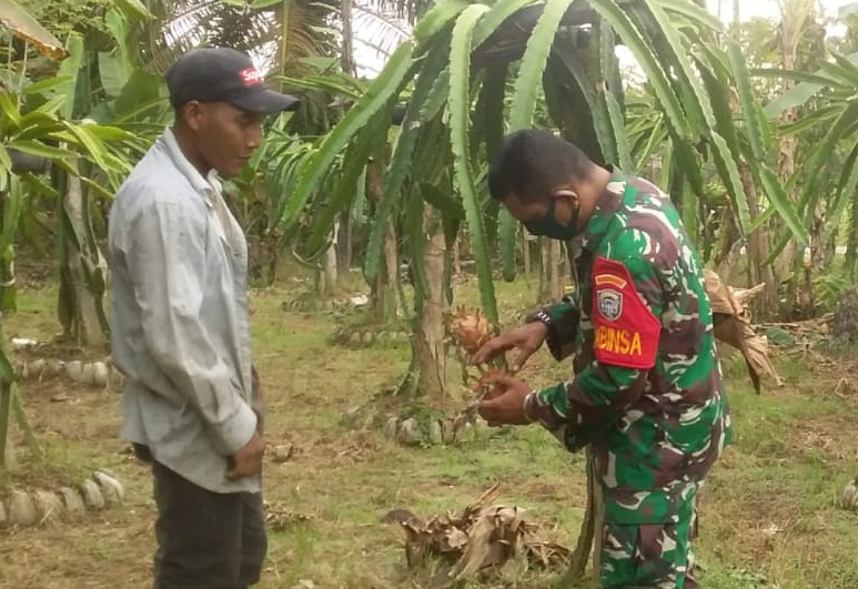 Babinsa 06/Dam Bantu Perawatan Tanaman Buah Naga