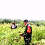 Babinsa 15/Sry Bantu Petani Memanen Buah Pare