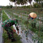 Babinsa Bantu Petani Rawat Cabai di Aceh Timur